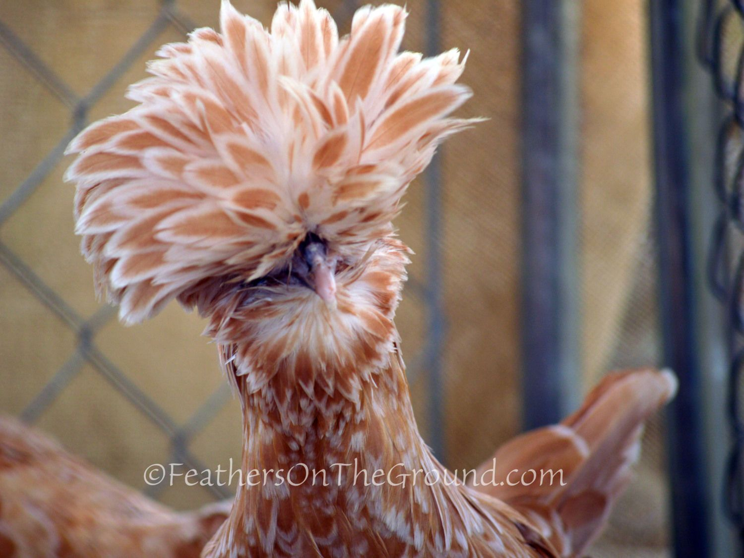 NoseyChickens's photos in CSU - Chicken State University- Large Fowl SOP