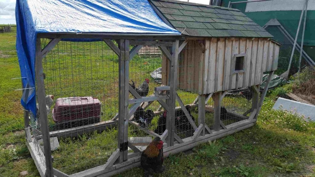 chickens really's photos in Raising ducklings