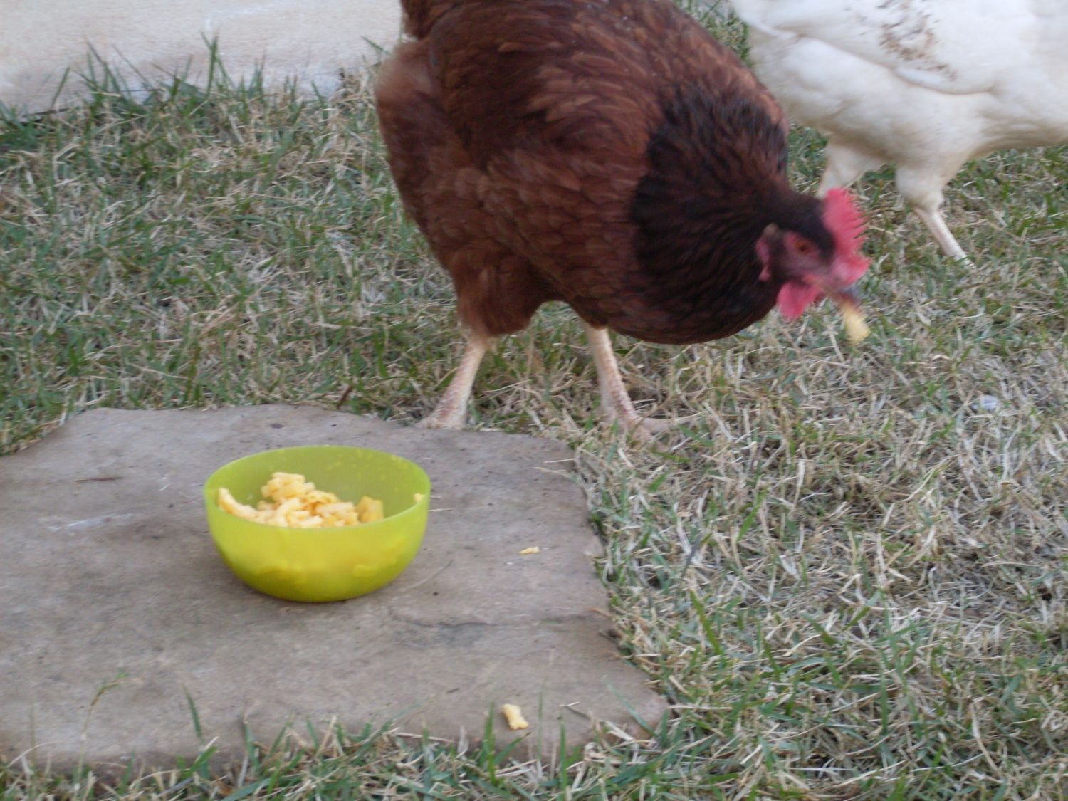 CinnamonQueen's photos in What is this chicken thinking?