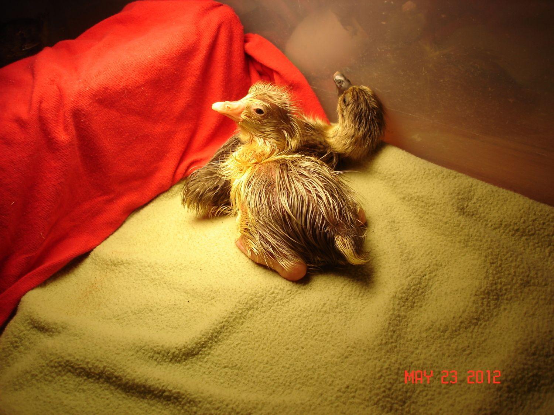gosling hatching 13.JPG