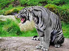 220px-Maltese_Tiger.jpg
