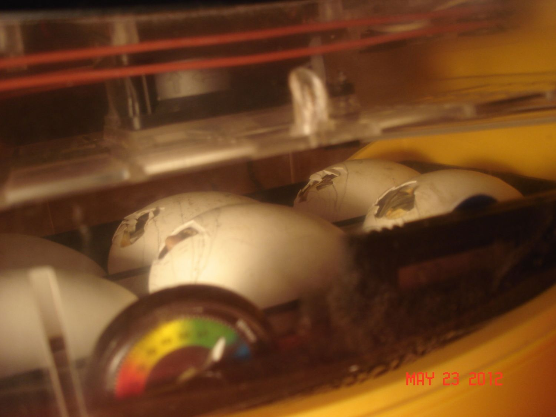 gosling hatching 1.JPG