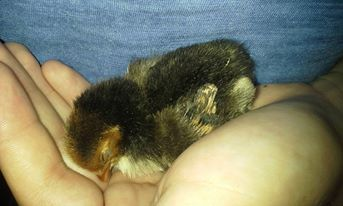 06/26/2015.  Seabuscuit, (my sebright)  loved to be held when he was a baby