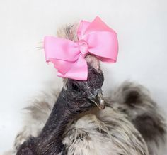 Keeping Crested Breeds Feathers out of their Eyes