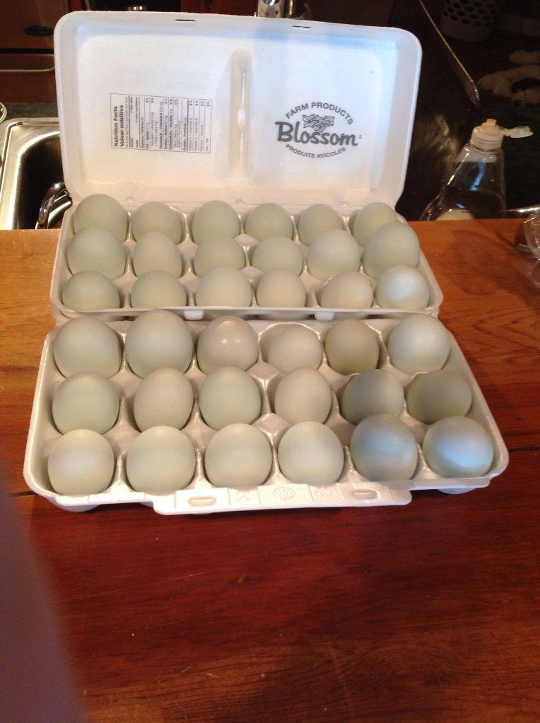 sonew123's photos in Cream Crested Legbar eggs 35+ eggs!!!