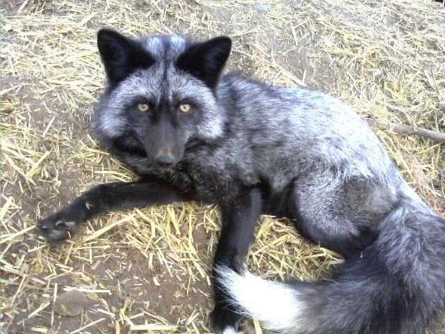 silkieRaiser's photos in Fight of the Foxes RP