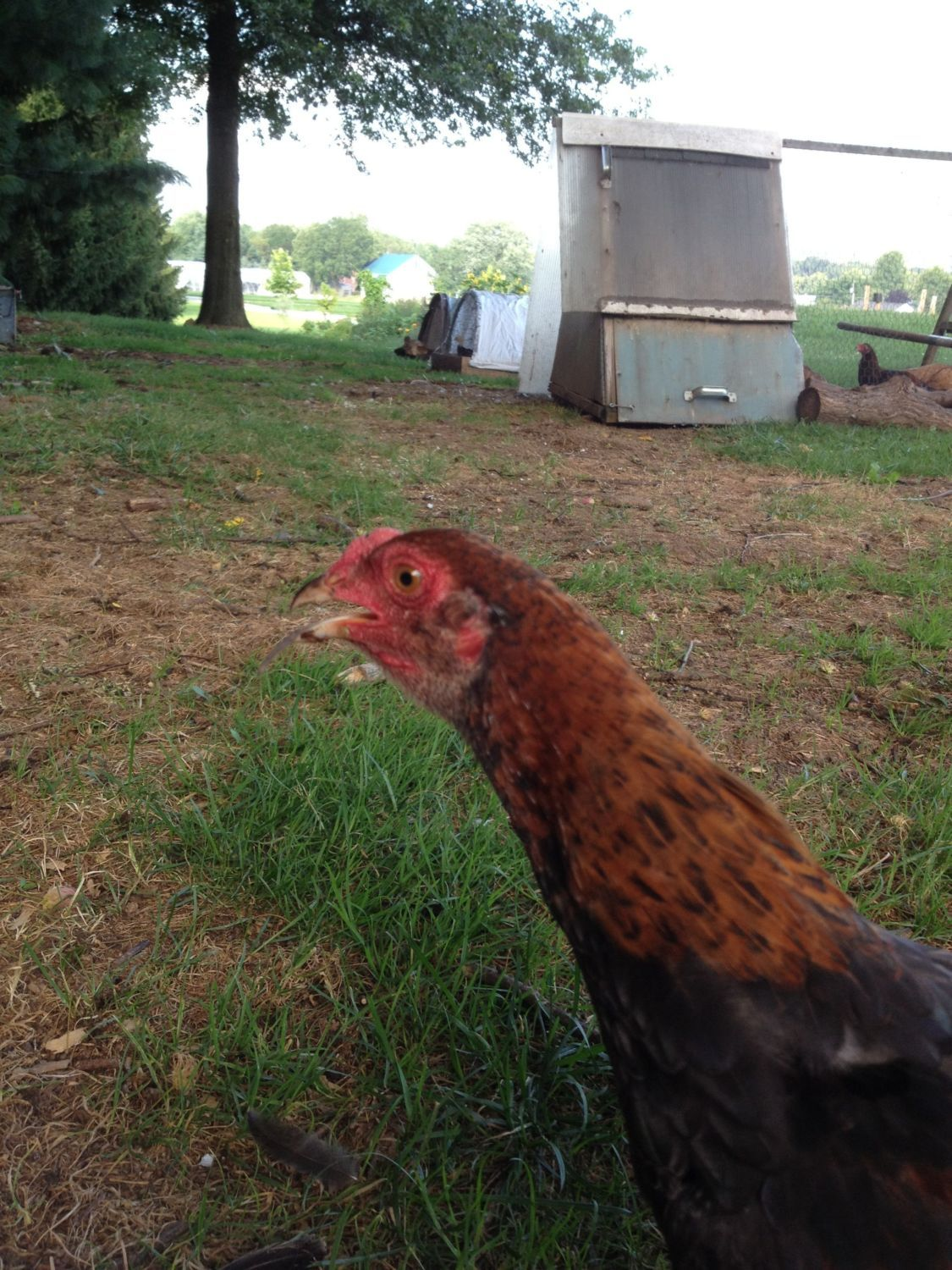 gallorojo's photos in Farming and Homesteading Heritage Poultry