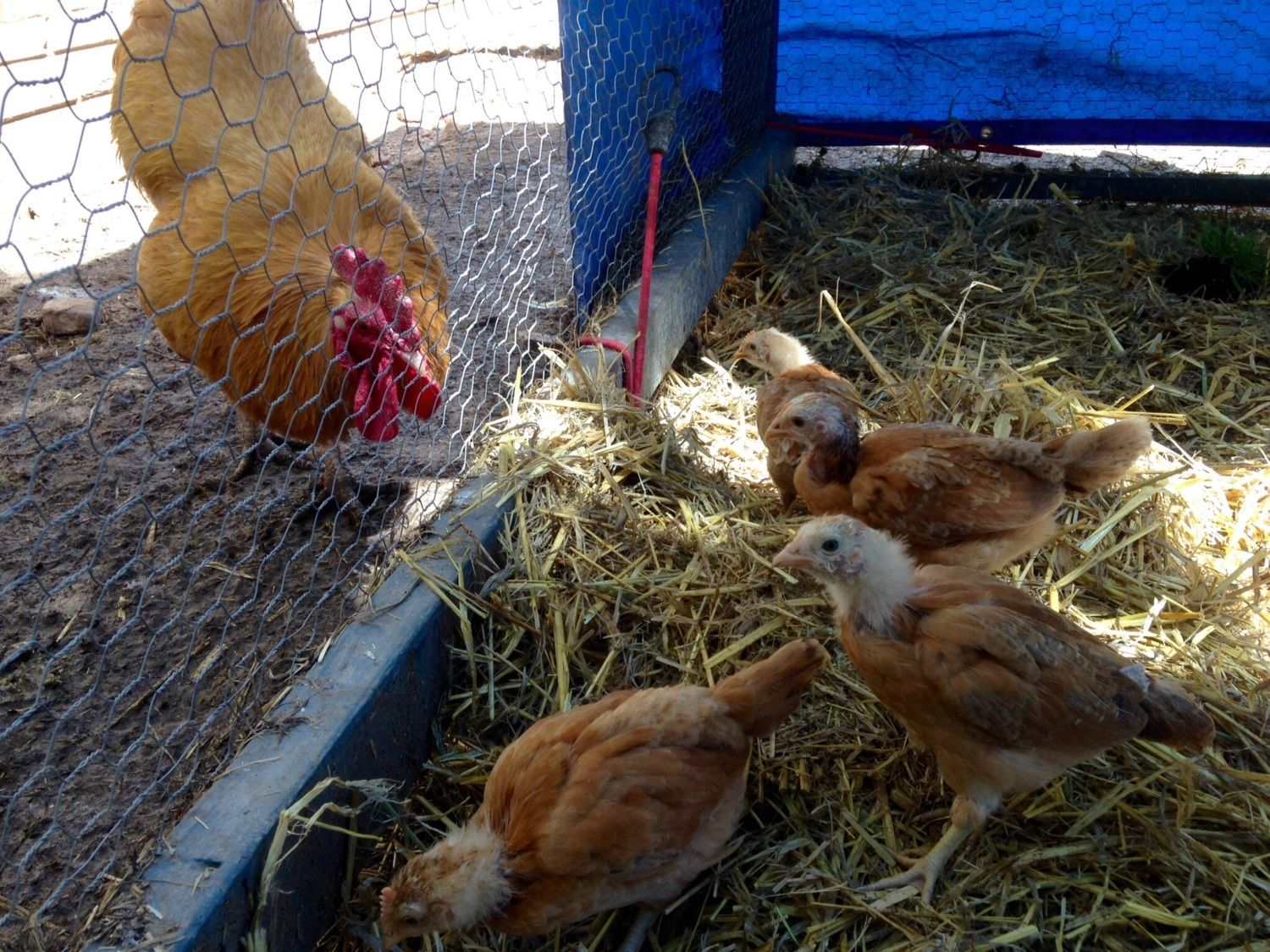 Proud dad inspecting his chicks. He was already clucking to them and pecking the ground.