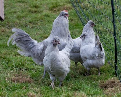 British Tailed Araucana