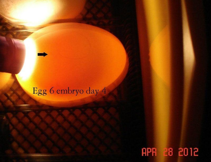 egg6day4.jpg