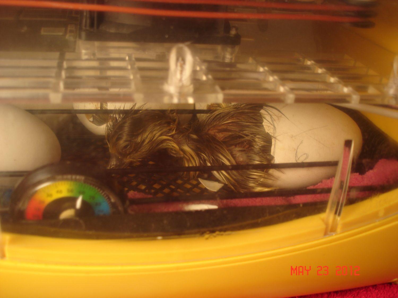 gosling hatching 10.JPG