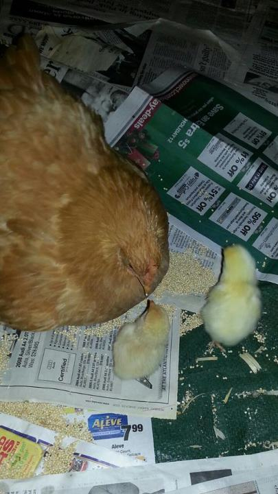 Mommy and chicks