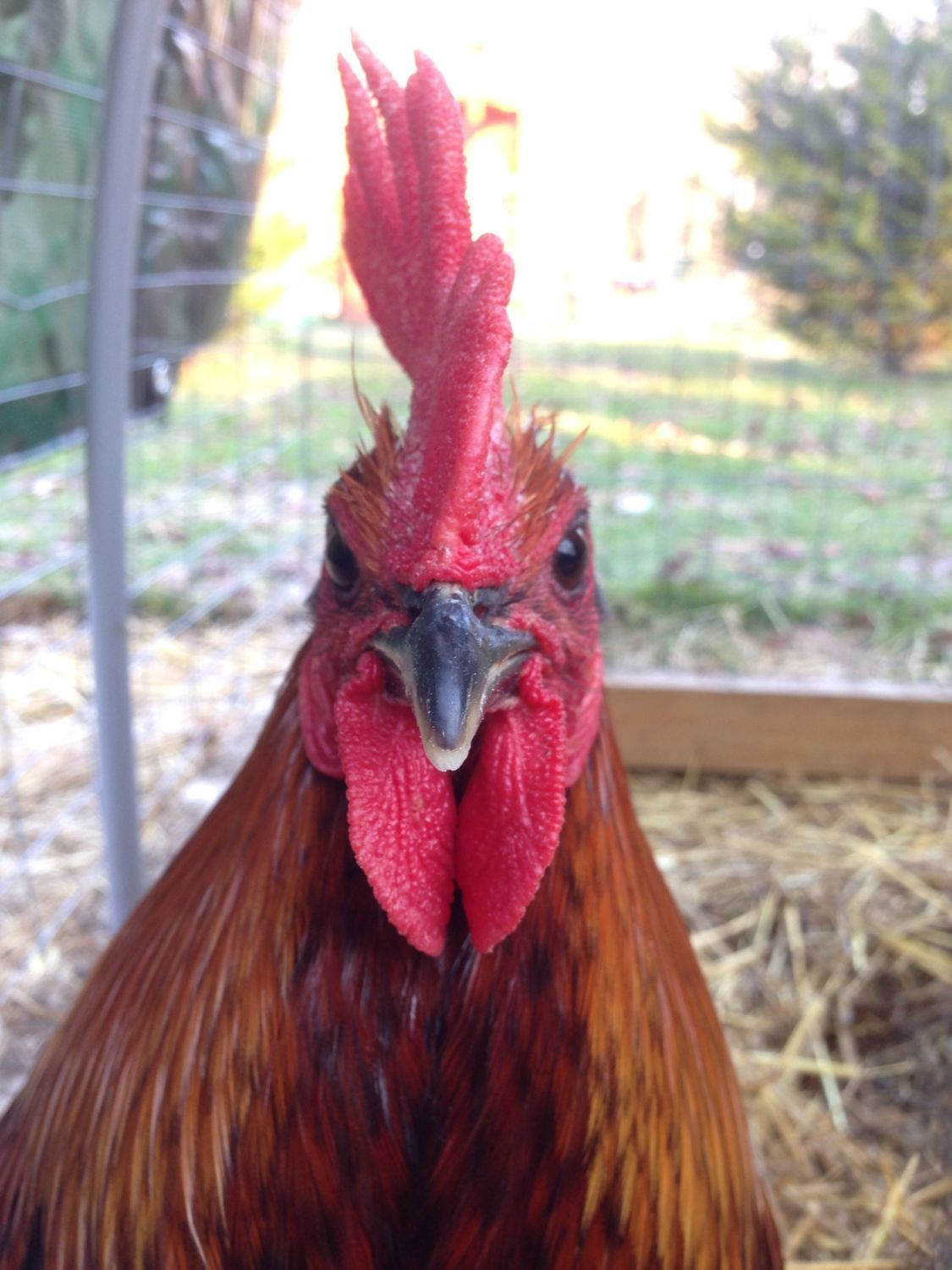 roosterhavoc's photos in Show Off Your American Gamefowl!!!