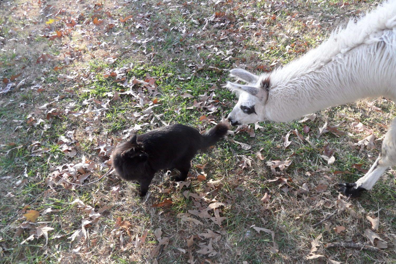 Puddin Fluff's photos in Alpacas!