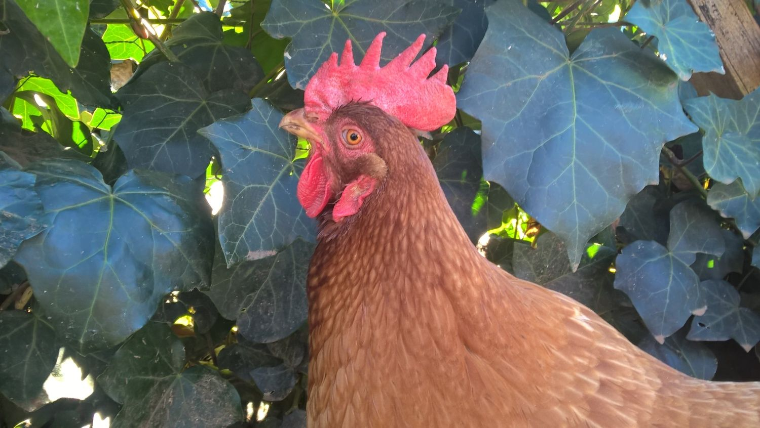 Fierlin1182's photos in Beautiful (Duck and Chicken) Hens Contest!~Prize included~Hosted by The Duck Ladie