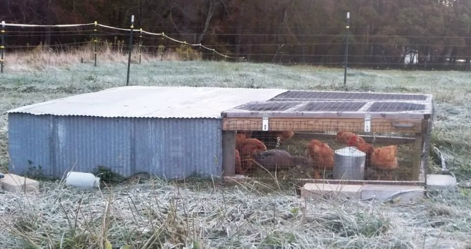 Raising broilers in your backyard.
