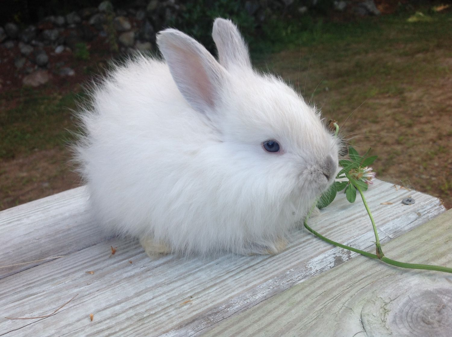 This is Mitzi, she's a 5 weeks old French Angora,  lilac point!  I want my babies!   Countdown to 9, 19, 14!