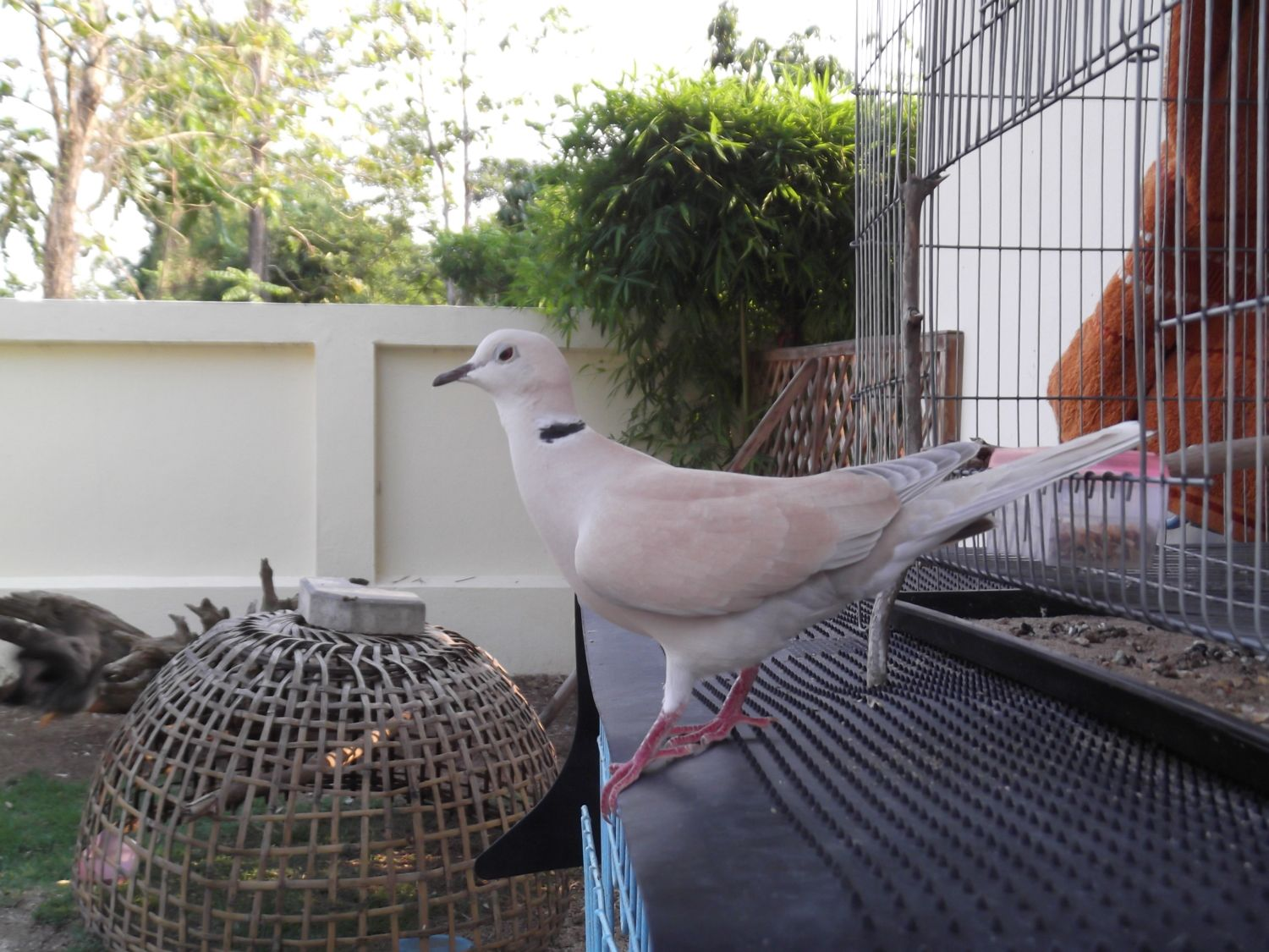 Free ringneck doves http www pic2fly com free ringneck doves html