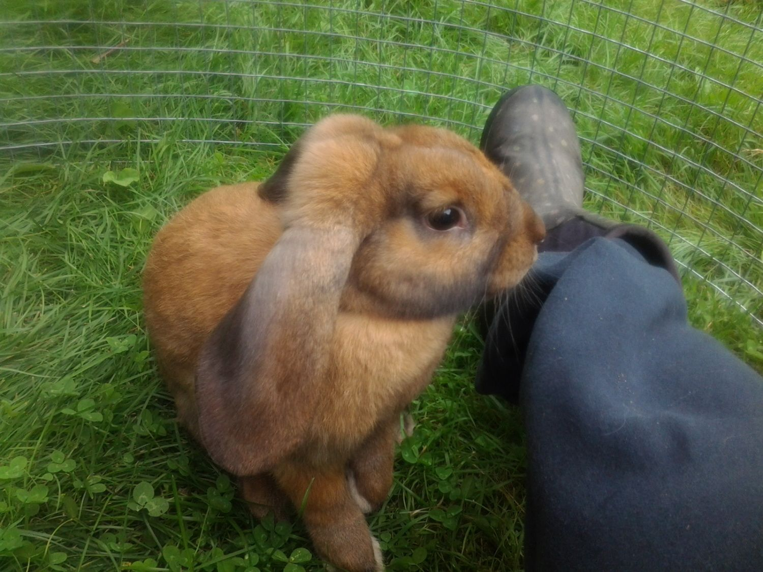 Hunter,  a 5 month old Satin/lop bunny!