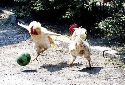 Funny+chicken+images+pics+photos+chicken+playing+soccer+football.jpg