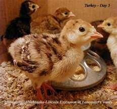 Turkey Poult.jpg