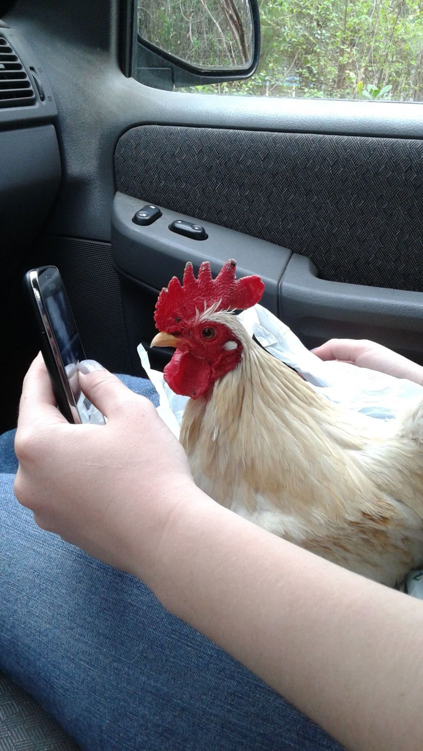 Bunnylady's photos in Don't take Selfies with Chickens!!!!