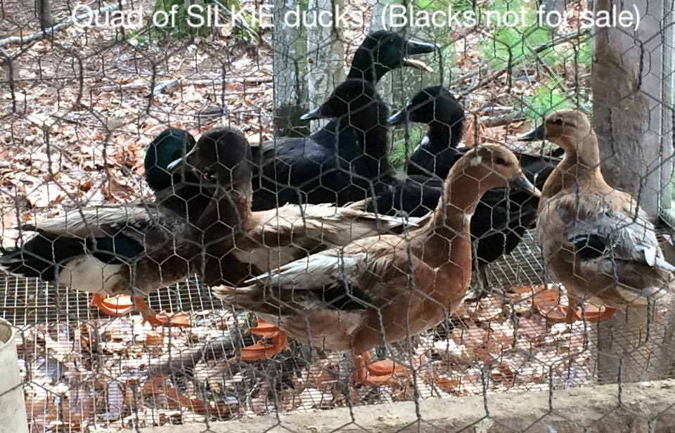 learycow's photos in Bantam Ducks - Where can I get them?