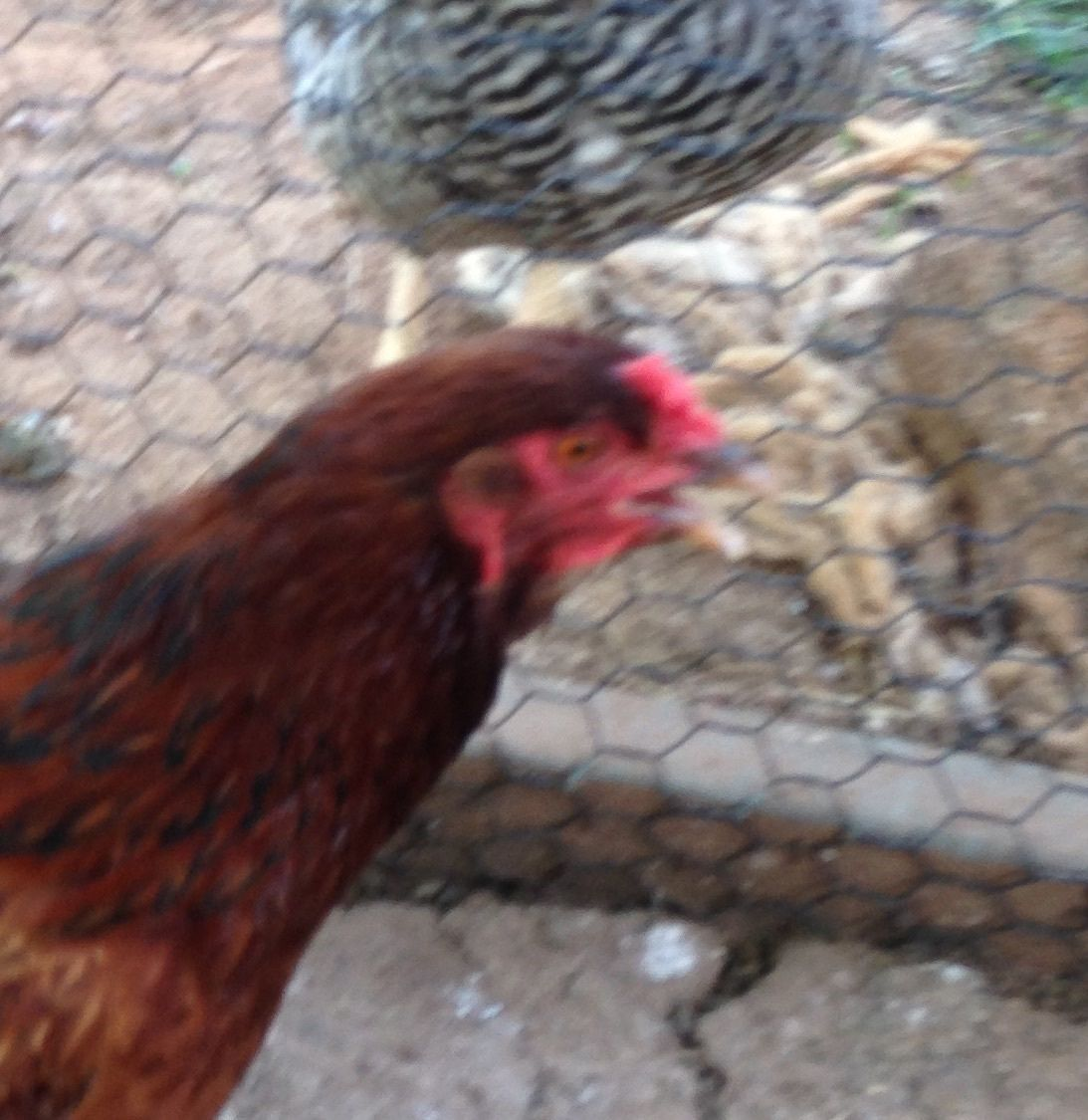 jane s chickens's photos in MUTT....gender help please