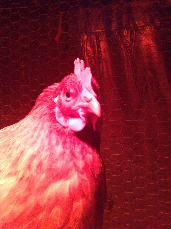 Hens rule
