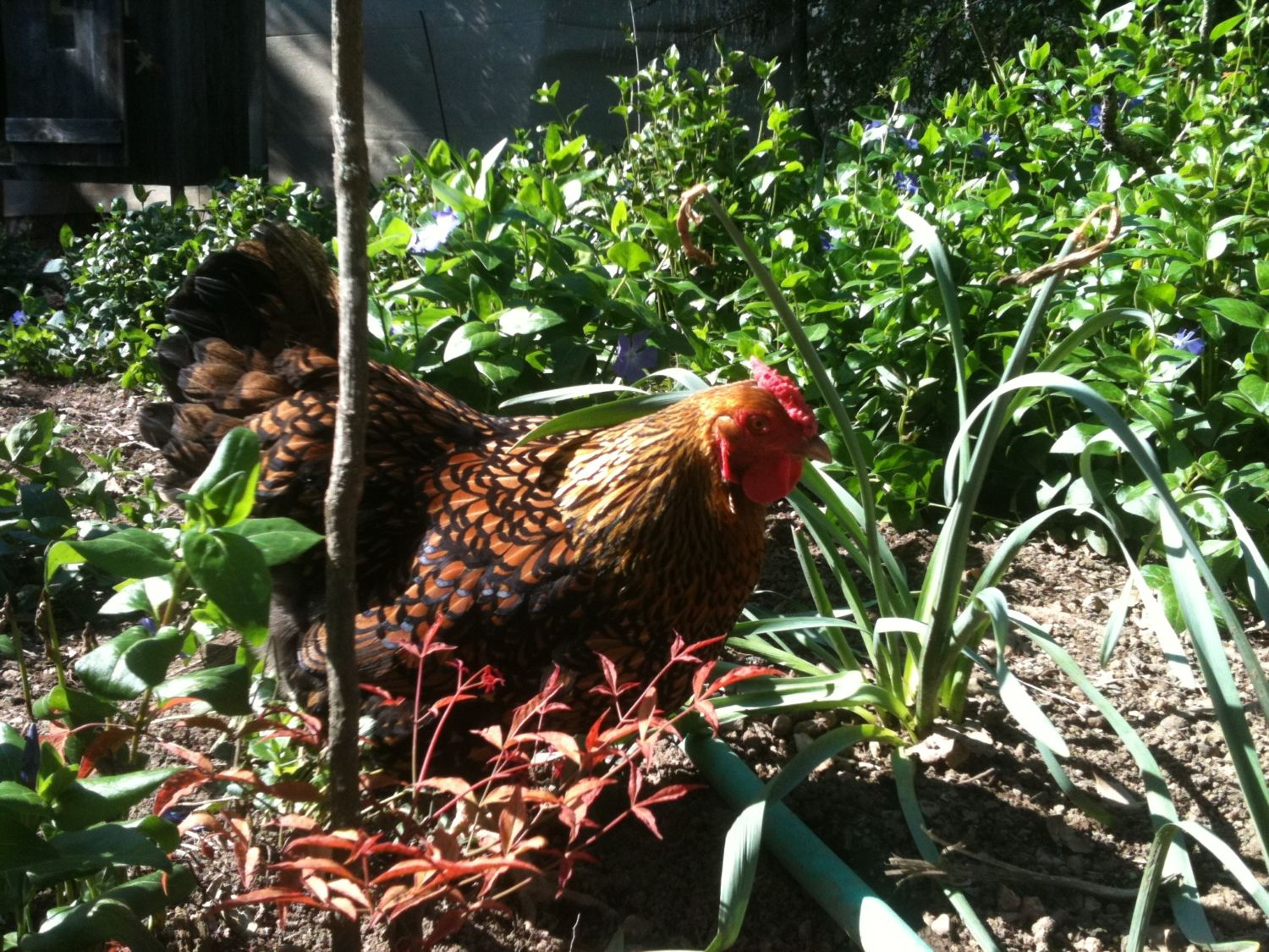 Disco Hen's photos in Lets See Those Laced Chickens - Ends 1/20/12