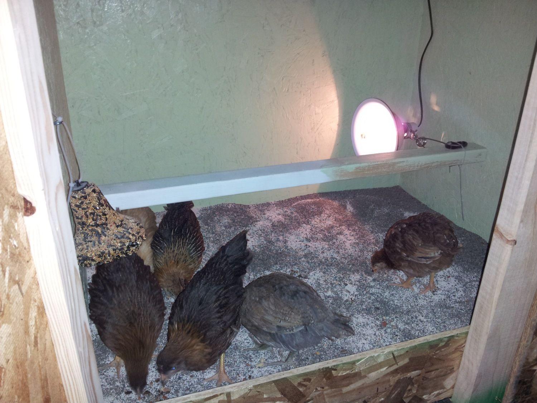 saltnprepper's photos in Meyer Hatchery Chicken Pictures!!!