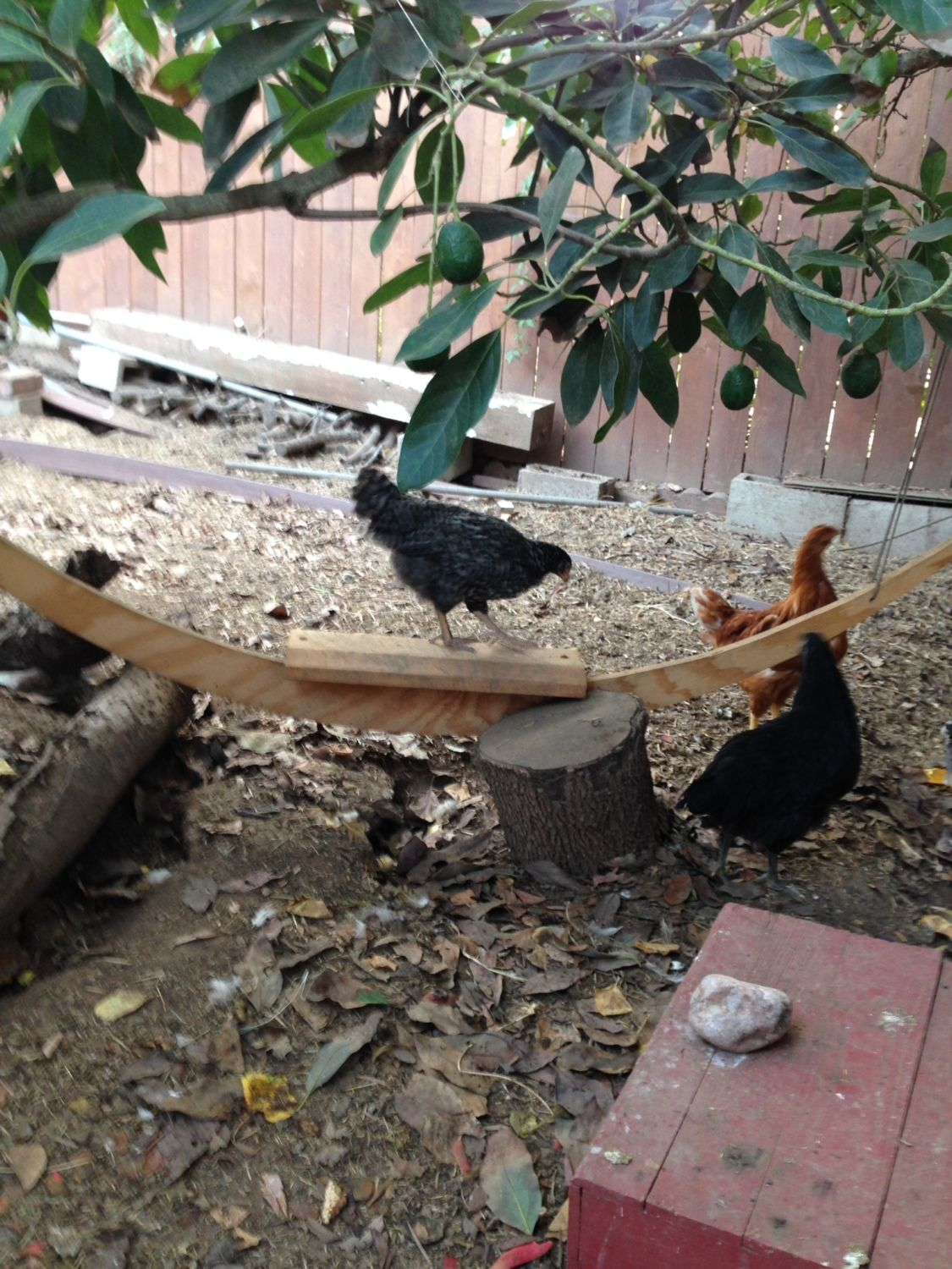 Amelia checking out the chicken swing under the avocado tree in the chicken yard