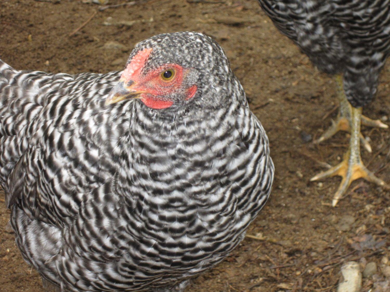 chickens 004.JPG