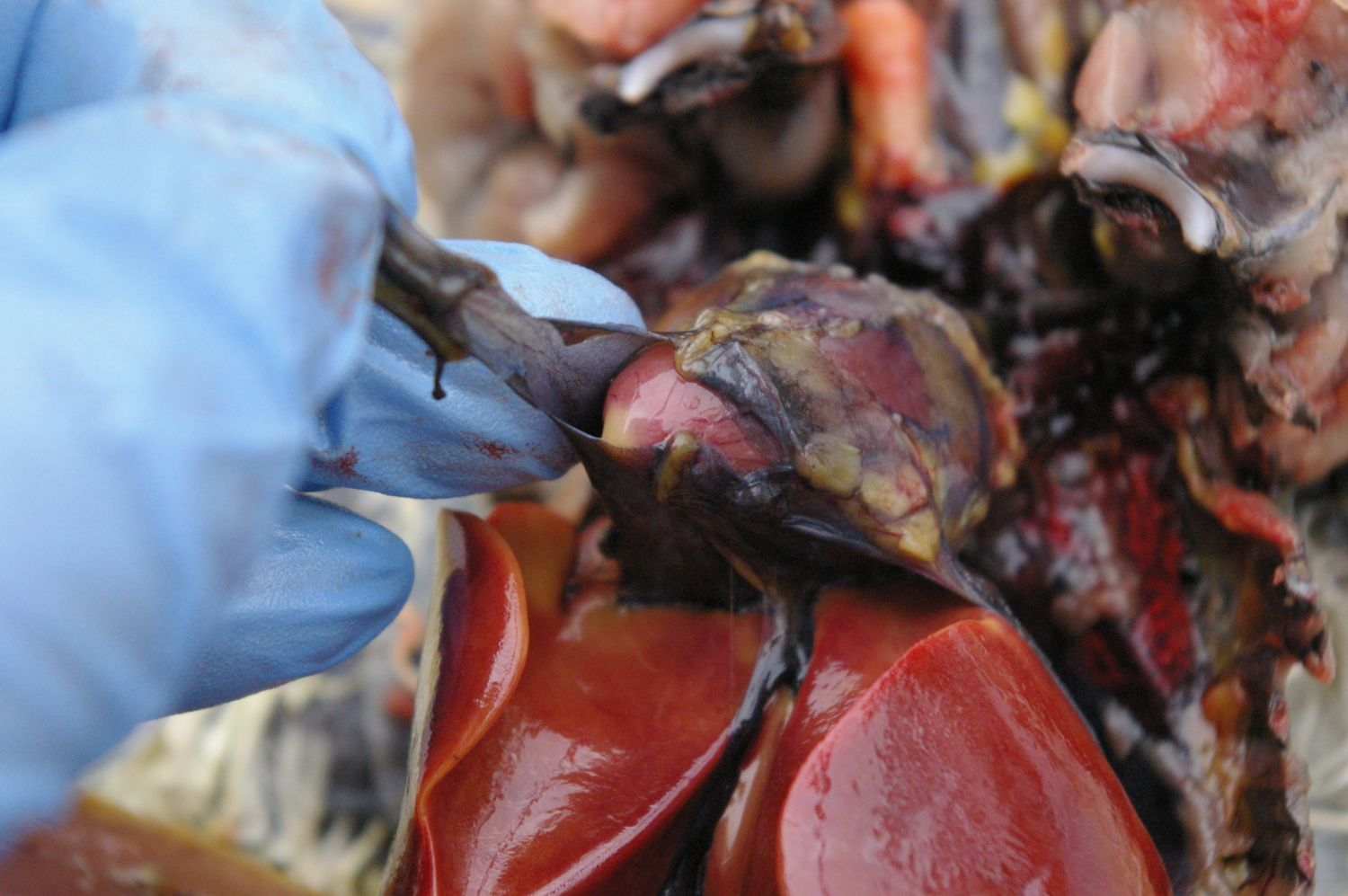 Heart sac cut to reveal the tip of the heart