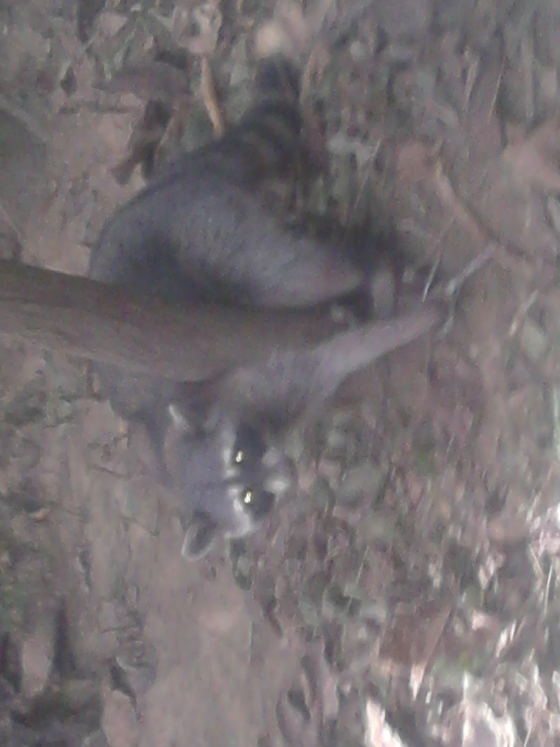 pet safe coon trap in action