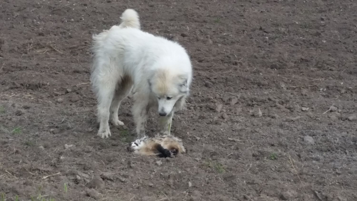 Rocky and the badger he killed a couple months ago, about 500 yards from OUR yard.