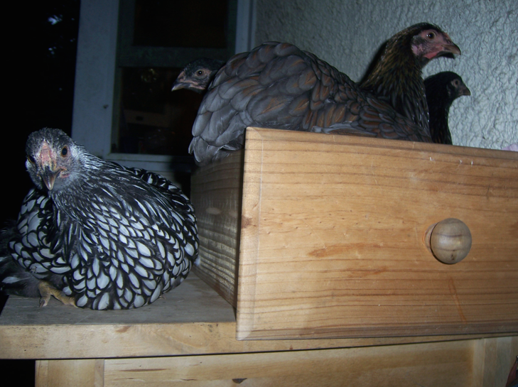 FeatheryFriend5's photos in My new chooks have decided to not return to the coop at night