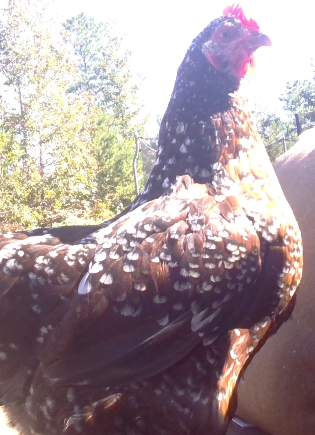 vachick15's photos in Show off your chickens