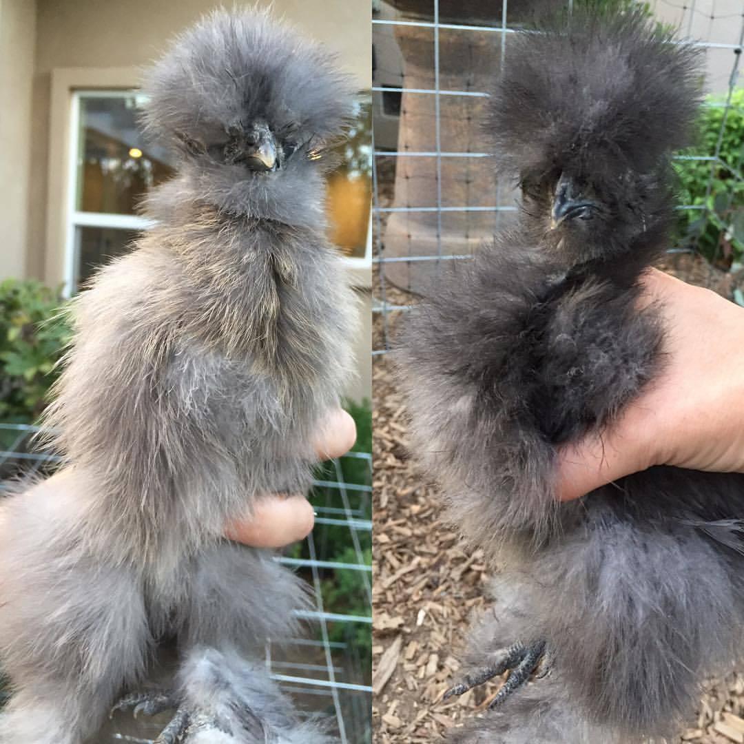 Chicks 1.jpg