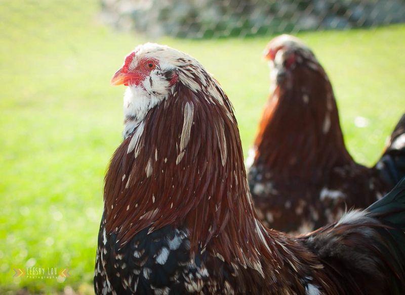 Rare Feathers Farm