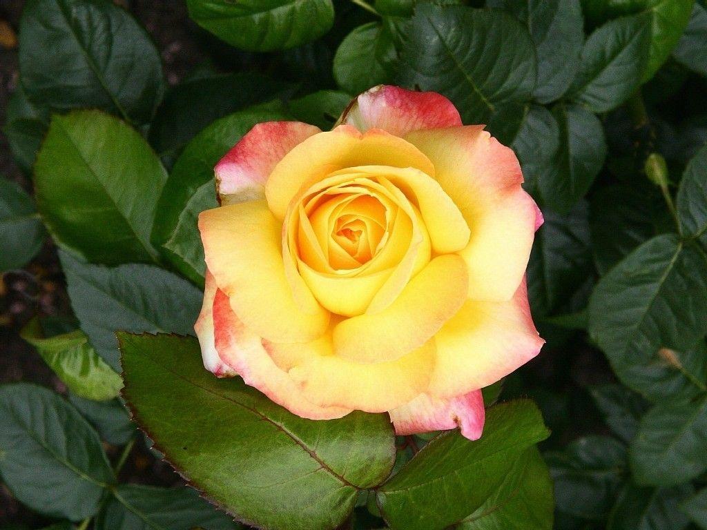 Poinsettia profile picture