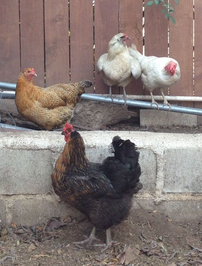 The four hens who are from May/June 2014. Deedee, Easter egger, in gray, Marilyn, white leghorn, and Beatrix, orange Easter egger, and my favorite, Phyllis, black sexlink. Phyllis is the best layer of the bunch, is very social, and is nuts about treats.