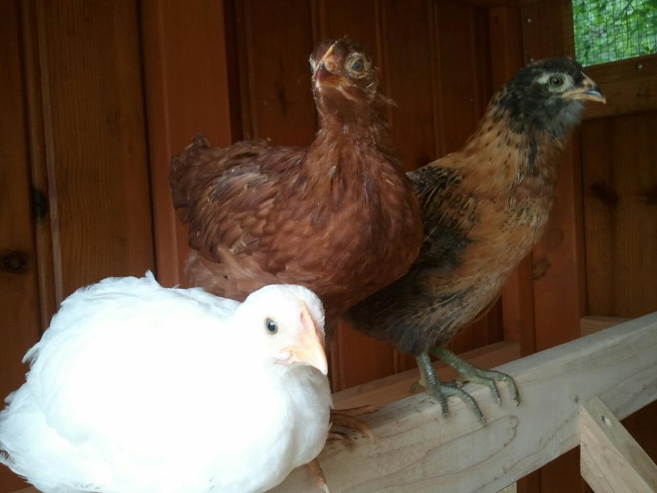 hens_coop.jpg