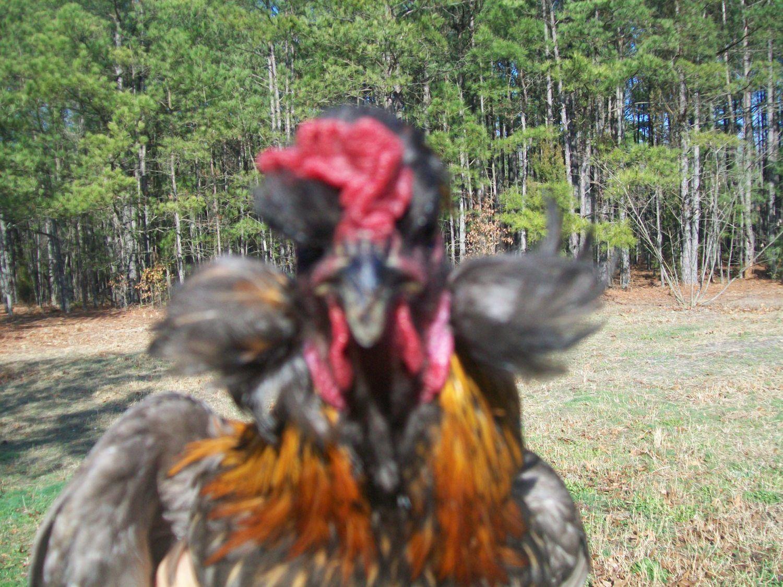 chicken 054.jpg