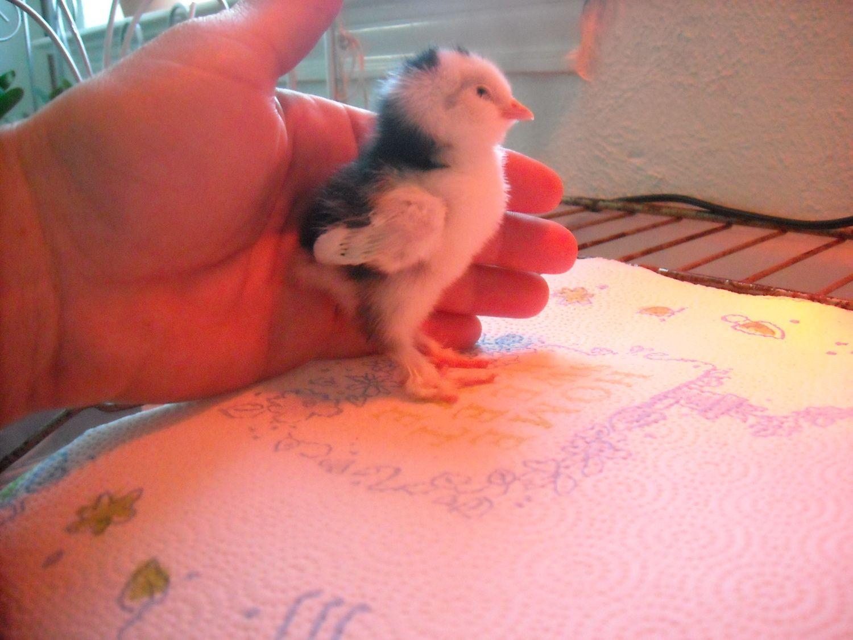 chicks 118.jpg