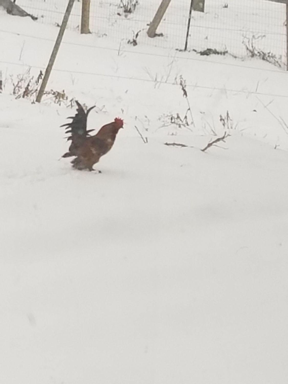 Chicken girl 15's photos in ( Winter ) Water in the coop