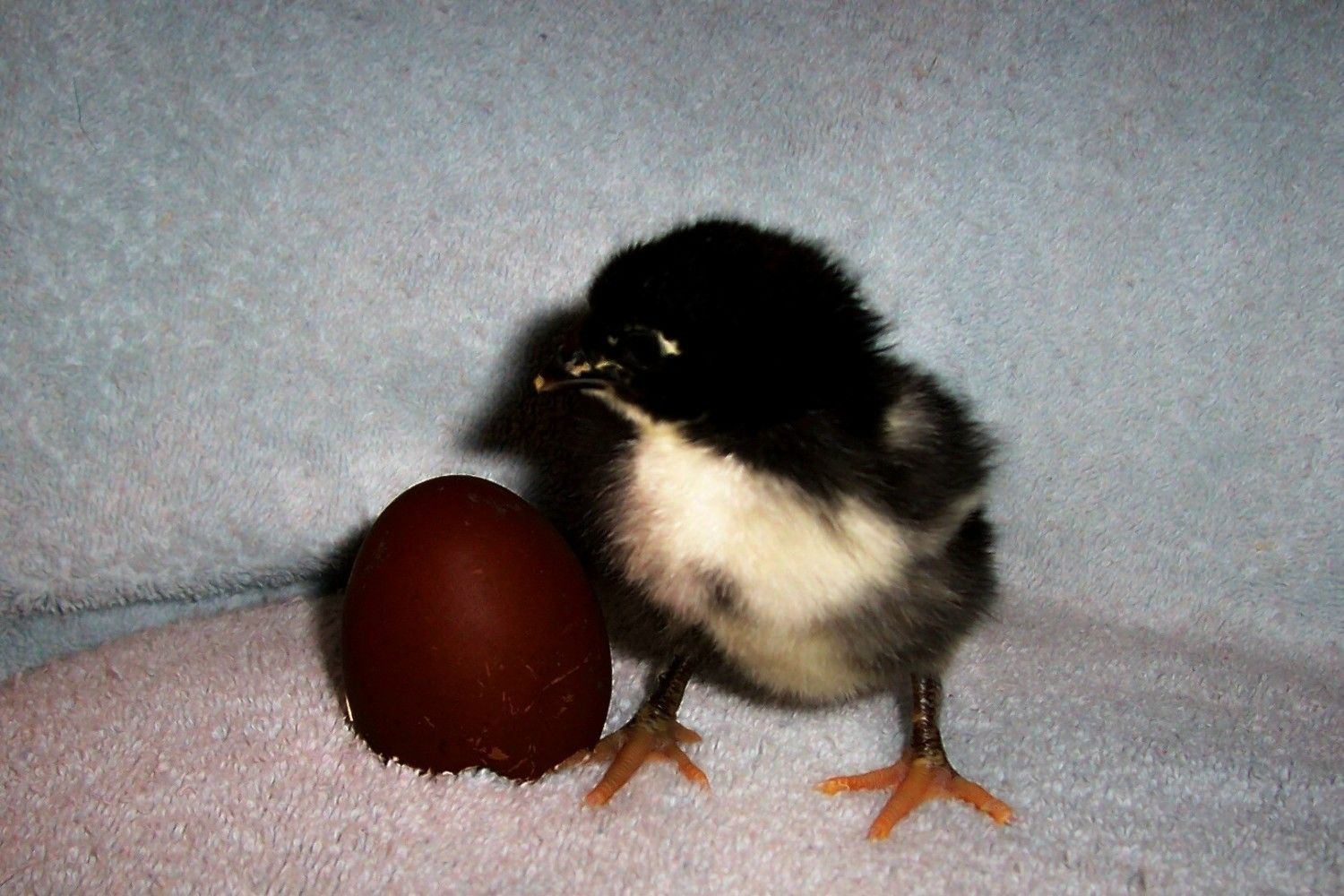 BCM roo from a dark egg showing scant leg feathering