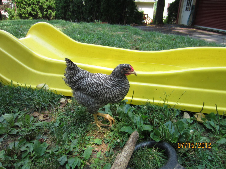 chicks 015.JPG