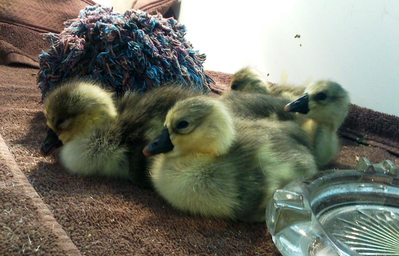 4 goslings.JPG