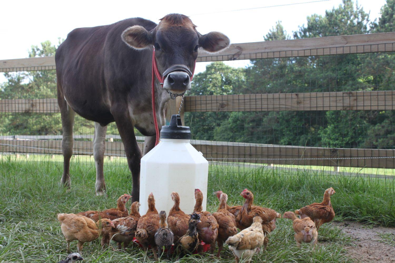 Chickengirl47